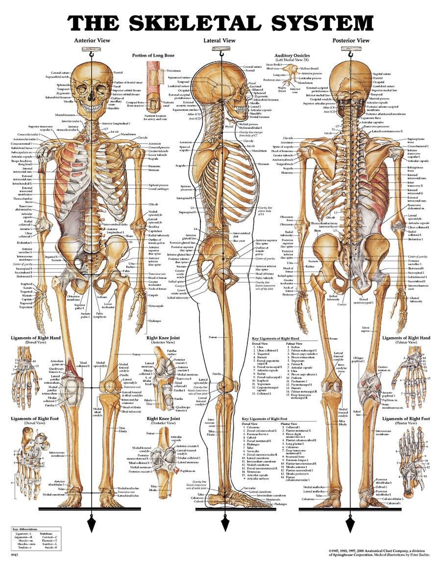 Human Body Skeletal System Games Handley Law
